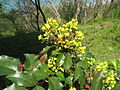 Mahonia lomariifolia Chinese Holly Grape ჭყორფოთოლა (3).jpg
