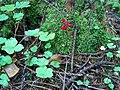Maianthemum bifolium Oravanmarja H4162 C.JPG