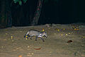 Malay Civet (Viverra tangalunga) (14427389190).jpg