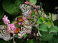 Malaysia - Penang Butterfly Gardens - 05 (5208960516).jpg