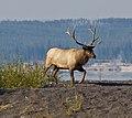 Male Elk (8005280487).jpg