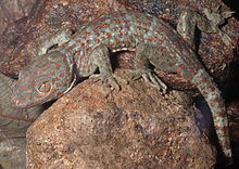 Male Gekko gecko (KU 330057) in the outskirts of Barangay Magrafil - ZooKeys-266-001-g047.jpg
