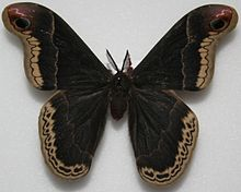 Male Promethea Moth, Megan McCarty79.jpg