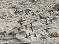 Mallard (Anas platyrhynchos), Common Teal (Anas crecca), Eurasian Wigeon (Anas penelope), Gadwall (Anas strepera) & Northern Pintail (Anas acuta) (30646900337).jpg