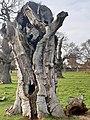 Malpighiales - Salix babylonica - 4.jpg
