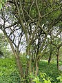 Malus hupehensis - Copenhagen Botanical Garden - DSC07646.JPG