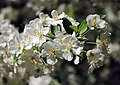 Malus sargentii flowers.jpg