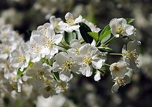 Malus sargentii - Image: Malus sargentii flowers