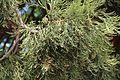 Mammutbaum, Biondekgasse Baden 08.jpg