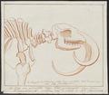 Mammuthus spec. - skelet - 1700-1880 - Print - Iconographia Zoologica - Special Collections University of Amsterdam - UBA01 IZ22000159.tif