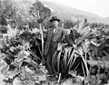 Man, probably Mr Clark, posing within the tall stalks of rhubarb on his farm, Skagway, ca 1914 (CURTIS 1901).jpeg