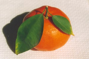 Clementine - Spanish clementine, possibly the Fina cultivar