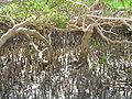 Mangrove à Moya.jpg