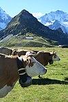 Mannlichen cows - panoramio.jpg