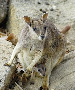 Mareeba Rock Wallaby and Joey at Granite Gorge.jpg