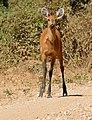 Marsh Deer (Blastocerus dichotomus) doe on the road ... (30834724974).jpg