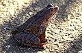 Marsh frog Rana ridibunda Голяма водна жаба.jpg