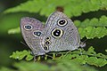 Mating pair of Ypthima sakra Moore, 1857 – Himalayan Five-ring Butterflies of Talle valley - 10.jpg