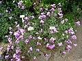 Matthiola maderensis - Berlin Botanical Garden - IMG 8783.JPG