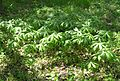 May Apple, Mayapple (Podophyllum peltatum) - Flickr - Jay Sturner (1).jpg