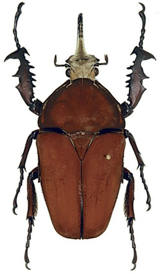 Flower chafer - Mecynorhina ugandensis