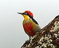 Melanerpes flavifrons -Parque Nacional do Itatiaia, Rio de Janeiro, Brazil-8.jpg