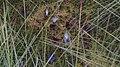 Melitaea athalia - Heath fritillary - Шашечница аталия (48127171688).jpg