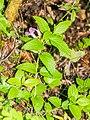 Melittis melissophyllum in Lozere (1).jpg