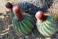 Melocactus intortus Saint Martin FWI 5.JPG