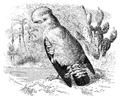 Menniskans härledning och könsurvalet illustration sida II-64.png