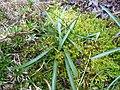 Merendera (leaf)1.jpg