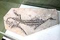 Mesosaur Fossil.jpg