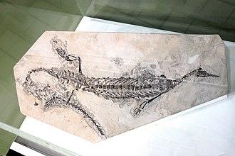 Mesosaur - Fossil of a South American Mesosaur