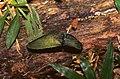Metallic Green Click-beetle (Chalcolepidius sp.) (36808903236).jpg