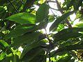 Michelia champaca (Champak) tree in RDA, Bogra 02.jpg