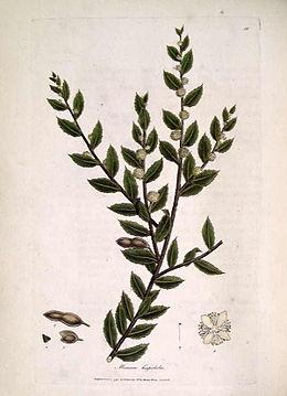 Mimosa hispidula (Sowerby)