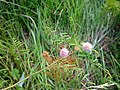Mimosa microphylla.jpg