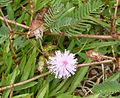 Mimosa pudica. Sensitive Plant - Flickr - gailhampshire.jpg