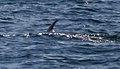 Minke whale 4 (6211598438).jpg