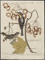 Mniotilta dominica - 1700-1880 - Print - Iconographia Zoologica - Special Collections University of Amsterdam - UBA01 IZ16300049.tif