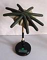 Modell von Marchantia polymorpha, ganzer weiblicher Hut -Brendel Nr. 140-.jpg