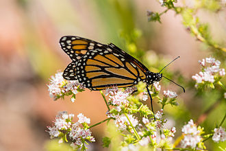 Eriogonum fasciculatum - Monarch butterfly on California buckwheat.