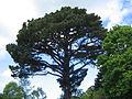 Monterey-Kiefer im Bodnant Garden.JPG
