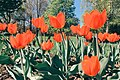 Moscow, tulips in the Palace of Pioneers park on Vernadskogo Prospect (19187651661).jpg