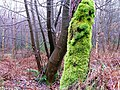 Mossy Tree, Silton Forest - geograph.org.uk - 297992.jpg