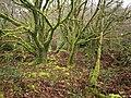Mossy trees near Siblyback Lake - geograph.org.uk - 713147.jpg