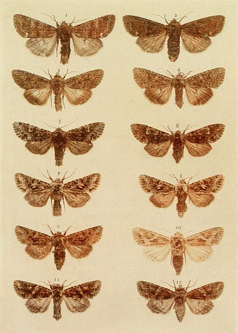 Moths of the British Isles Plate122.jpg