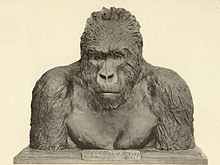 Mountain Gorilla bust by Carl Akeley.jpg