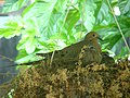 Mourning Dove tending its chicks.jpg