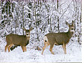 Mule Deer First Snow (15086657425).jpg